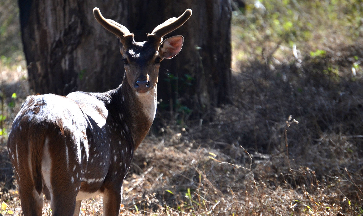 cervi maculati al parco naturale di madumalai